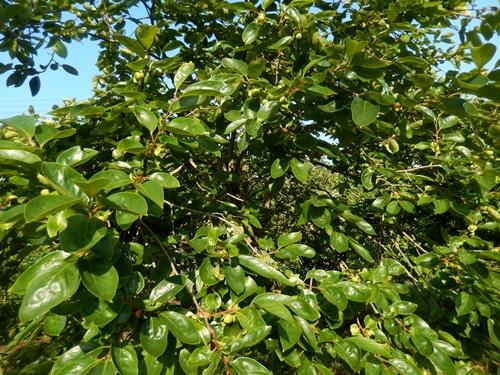 2014.6.21 果樹園の果樹たち 062 (1)