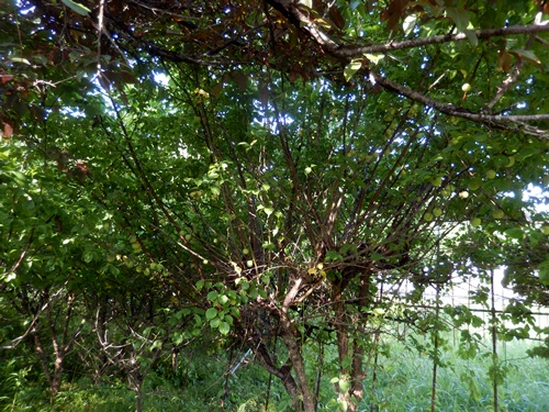2014.6.21 果樹園の果樹たち 062