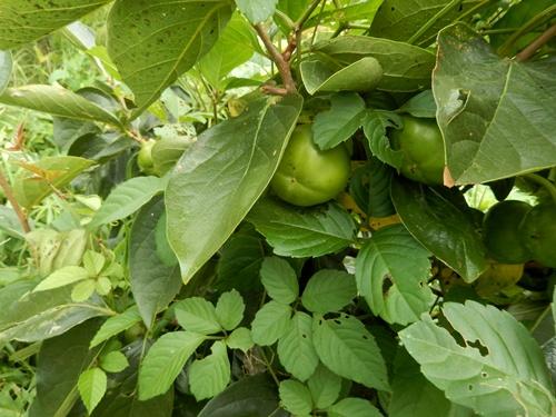 2014.8.12 野菜畑の夏 046