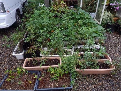 2014.8.29 雨後の野菜。草花 017