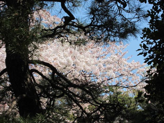 皇居の桜 青空と