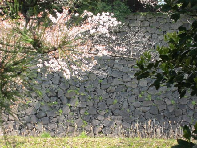 皇居の桜 石垣と