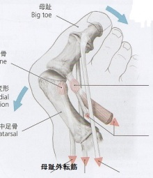 外反母趾 解剖