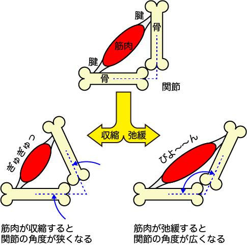 関節 筋肉 つき方