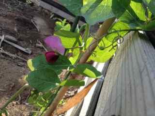 3:4・エンドウ豆の花