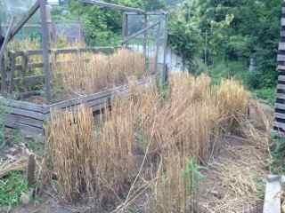6:4・南部小麦収穫