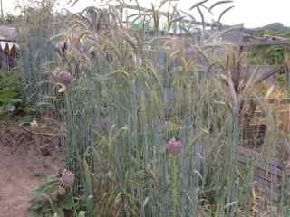 6:4・ニンニクの花とライ麦