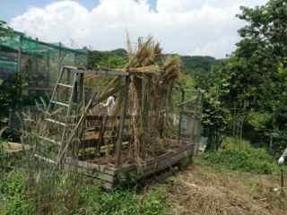 6_24・ライ麦収穫