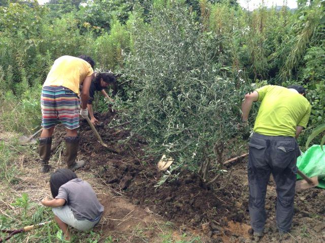 9:6・オリーブの木移植