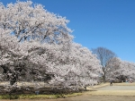 満開墨染め桜