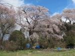 七本ぐらいの桜