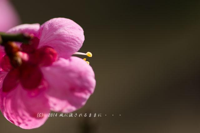 14年2月23日撮影 大阪城梅林 道知辺(みちしるべ)1