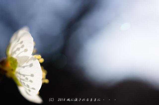 14年2月23日撮影 大阪城梅林 筋入月影2