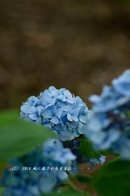 2014年6月 大阪・長居植物園 アジサイ1