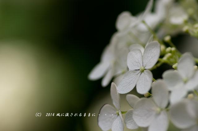 2014年6月 大阪・長居植物園 アジサイ2