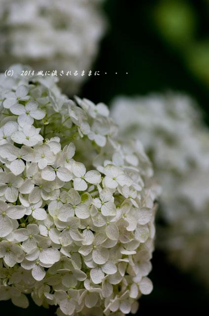 2014年6月 大阪・長居植物園 アジサイ3