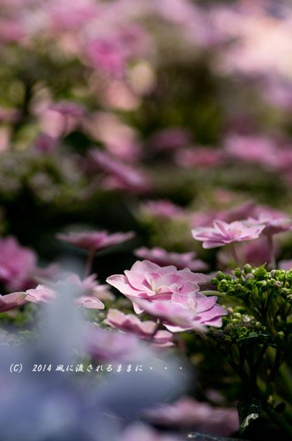 2014年6月 大阪・長居植物園 アジサイ5
