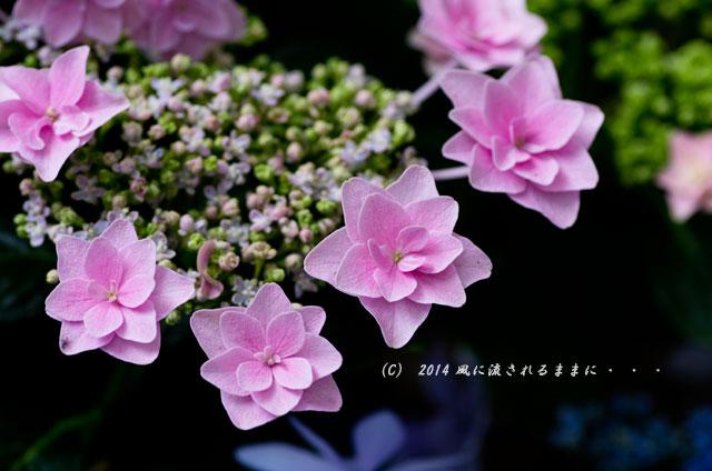 2014年6月 大阪・長居植物園 アジサイ7