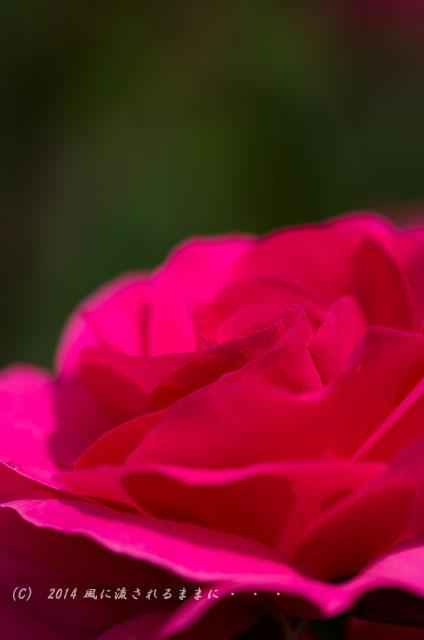 2014年 大阪・花の文化園 バラ1