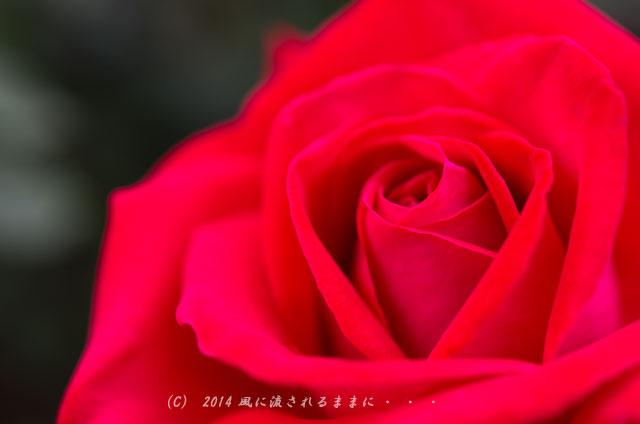 2014年 大阪・花の文化園 バラ2