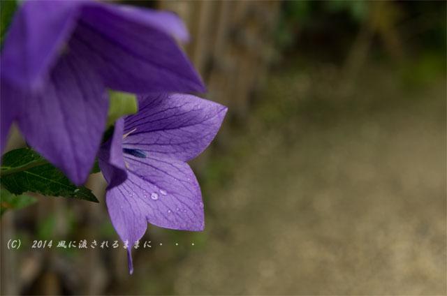 2014年7月 京都嵐山・天龍寺 桔梗の花1
