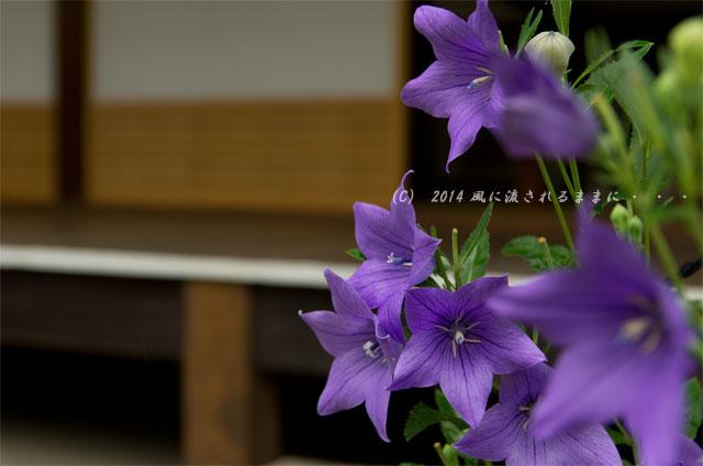 2014年7月 京都嵐山・天龍寺 桔梗の花2