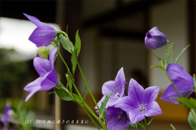 2014年7月 京都嵐山・天龍寺 桔梗の花3