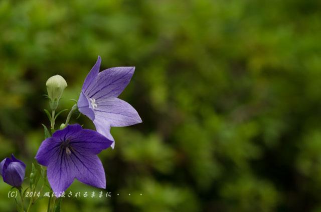 2014年7月 京都嵐山・天龍寺 桔梗の花4