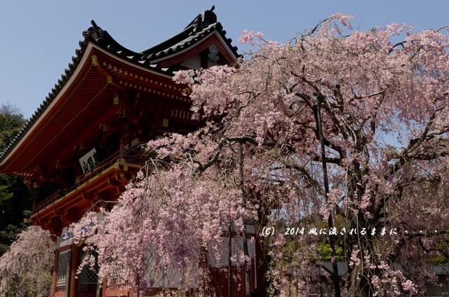 2014年 大阪・勝尾寺の桜1