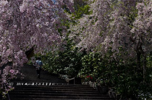 2014年 大阪・勝尾寺の桜2