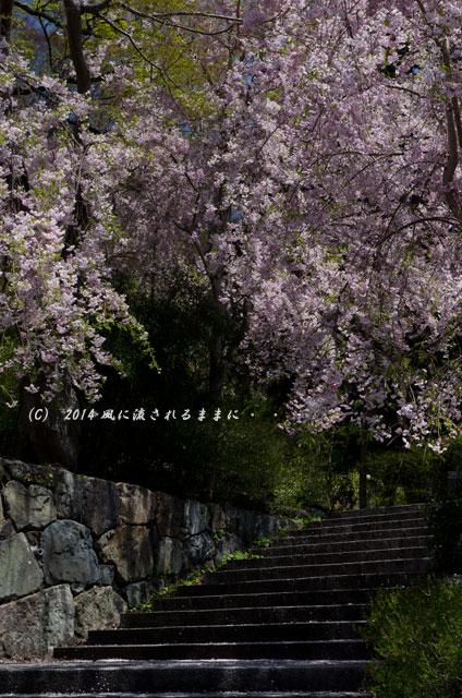 2014年 大阪・勝尾寺の桜4