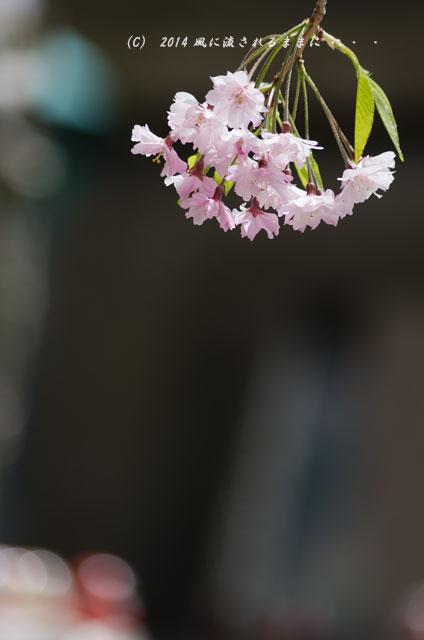 2014年 大阪・勝尾寺の桜9