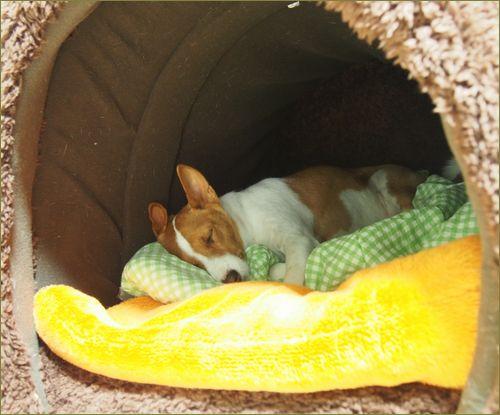 大型犬用に寝ている中型犬