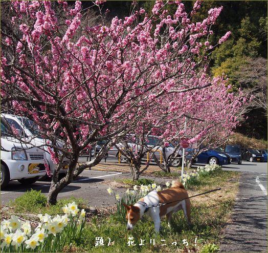 花桃は満開でした。