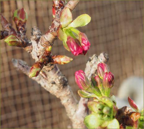 我が家の桜。