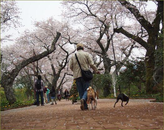 桜満開でした。