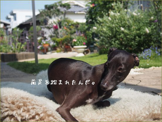 被害者(犬)A