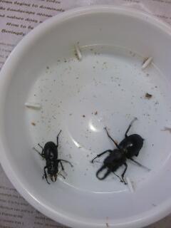 ハチノコ大、小
