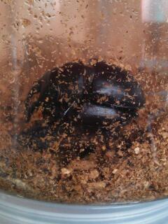 ハチノコ4.9ミリ交尾
