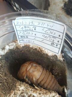 オオヒラタspヤコブ蛹