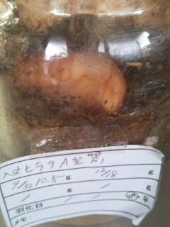 ハチヒラ蛹