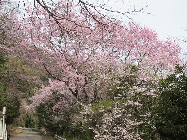 休山の桜1