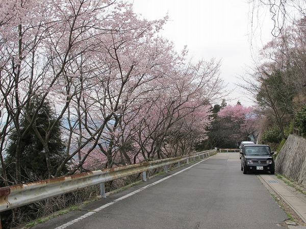 休山の桜2