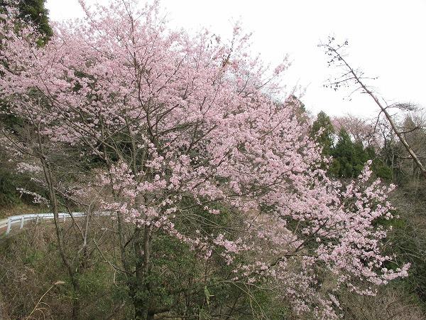 休山の桜3
