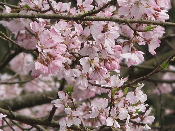 休山の桜4
