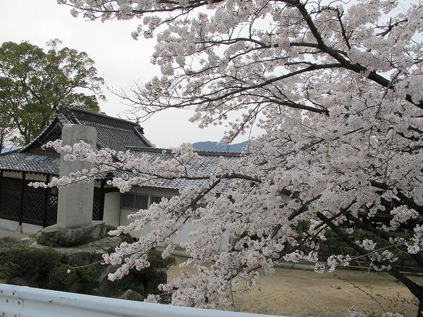 休山の桜5