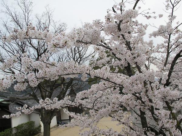 休山の桜6