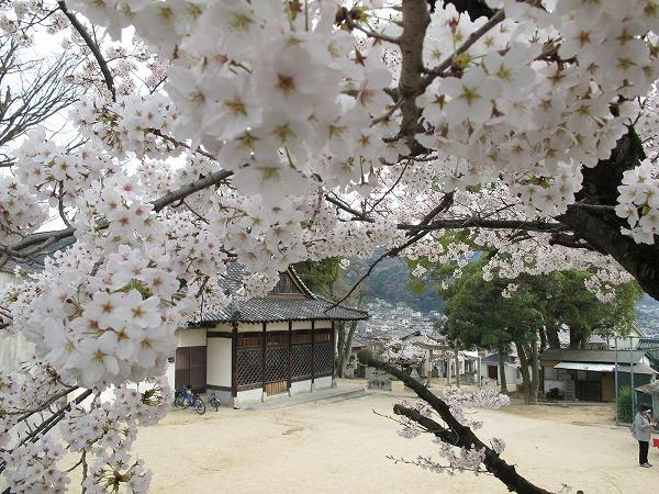 休山の桜7