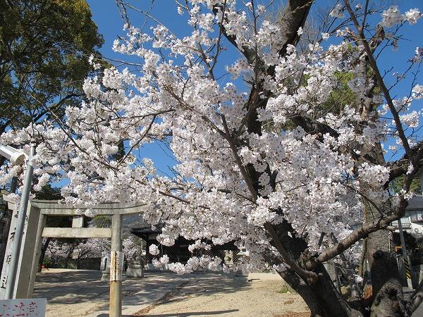 灰ヶ峰の桜2-2