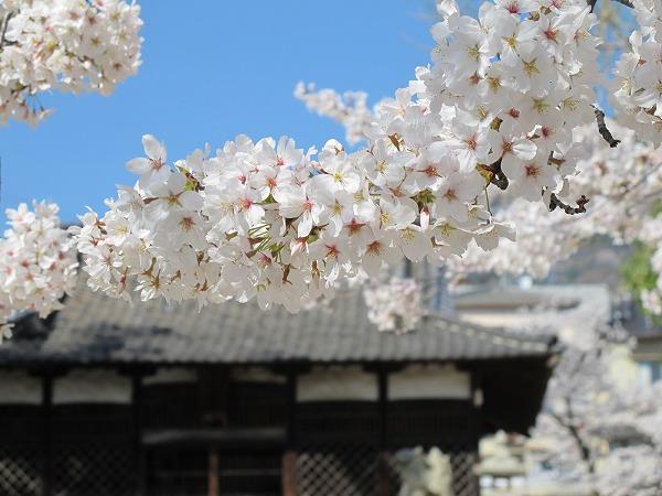灰ヶ峰の桜2-3